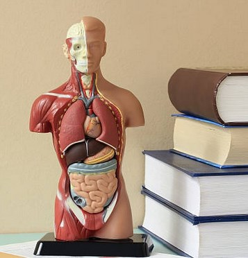 physiology human body